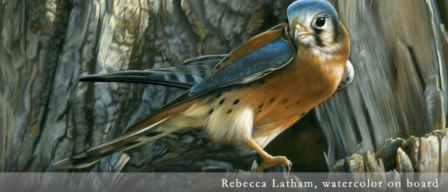 American Kestrel, watercolor painting by Rebecca Latham