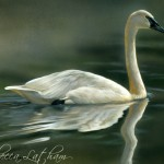 Trumpeter Elegance - Trumpeter Swan, 5x7,watercolor on board, ©Rebecca Latham