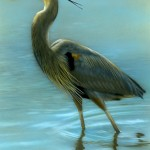 "Afternoon Wading - Great Blue Heron, 5"" x 7"", watercolor on board, ©Rebecca Latham"