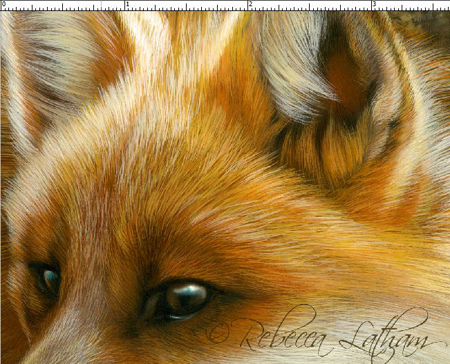 detail-fox  Fox Painting - Detail View, watercolor on board, ©Rebecca Latham
